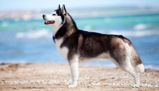 毛小孩狗胸背帶+牽繩 6/8英寸/19mm寬, 牽繩120cm. 不挑色 3組.喜樂蒂, 哈士奇, 未成年大型狗