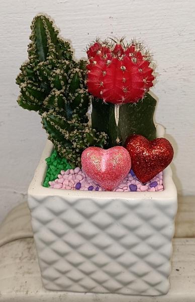 [紅色緋牡丹仙人掌+仙女閣組合盆栽] 約3吋瓷盆 嫁接仙人掌組合盆栽