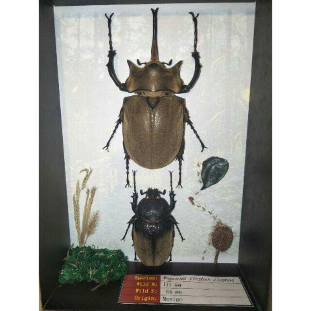 【回憶集】《毛象大兜展足標本》 Megasoma elephas 芒草 木麻黃毬果 蕨類嫩葉莫絲螢火蟲森林乾燥花甲蟲昆蟲