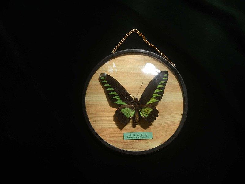 【老時光 OLD-TIME】早期台灣製蝴蝶標本