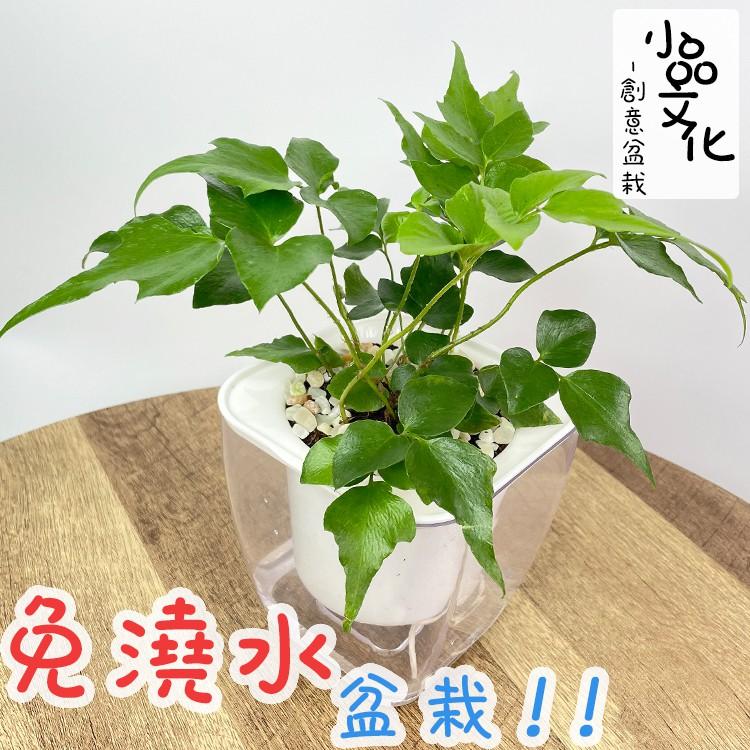【現貨】【小品文化】冬青蕨 4吋透明免澆水懶人盆栽 簡單好種植 觀葉植物 室內植物 自動吸水 創意花盆 居家