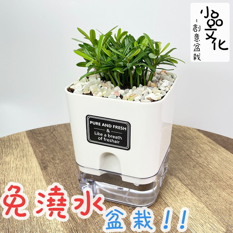 【現貨】【小品文化】羅漢松 4.5吋磁吸免澆水懶人盆栽 簡單好種植 觀葉植物 室內植物 自動吸水 創意花盆 居家