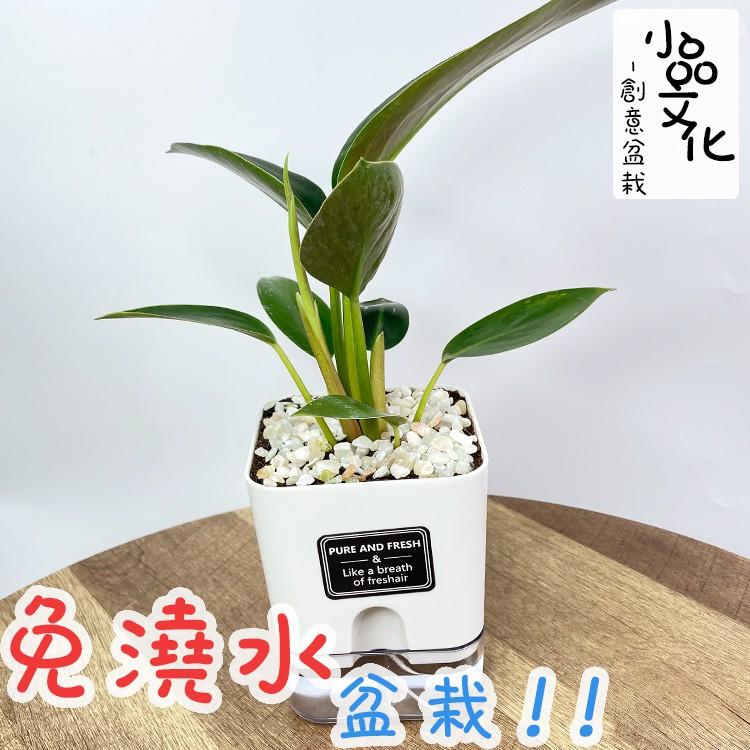 【現貨】【小品文化】金鑽蔓綠絨 4.5吋磁吸免澆水懶人盆栽 簡單好種植 觀葉植物 室內植物 自動吸水 創意花盆 居家
