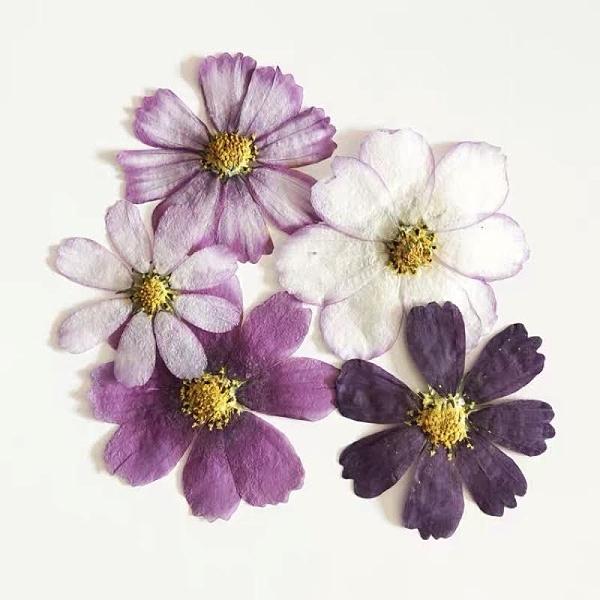 波斯菊格桑花壓花,隨機混色10朵裝