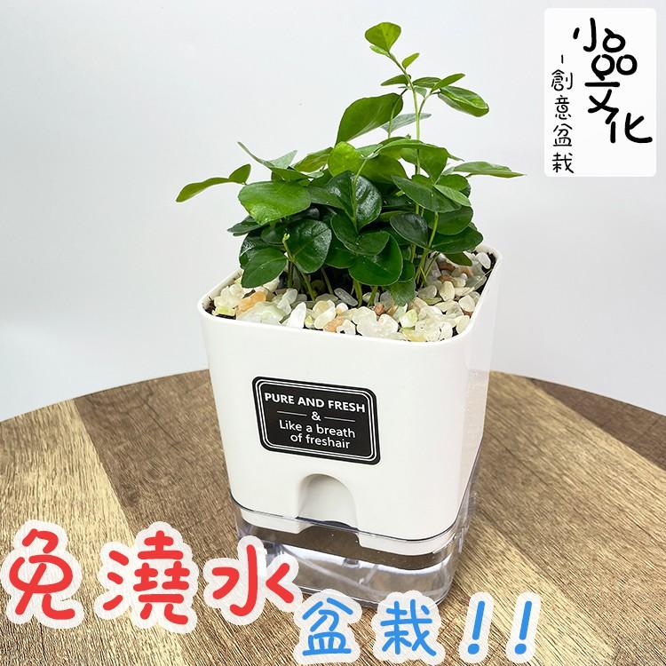 【現貨】【小品文化】七里香 4.5吋磁吸免澆水懶人盆栽 簡單好種植 觀葉植物 室內植物 自動吸水 創意花盆 居家