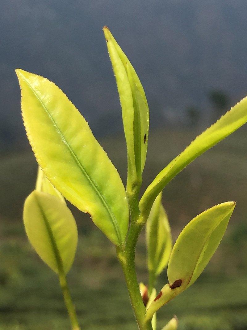 印度大吉嶺莊園紅茶課-上・探索莊園茶的魅力
