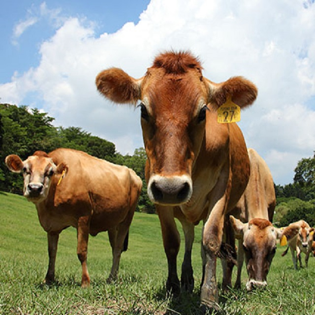 【苗栗】飛牛牧場-單人入園全票+彩繪肥牛DIY