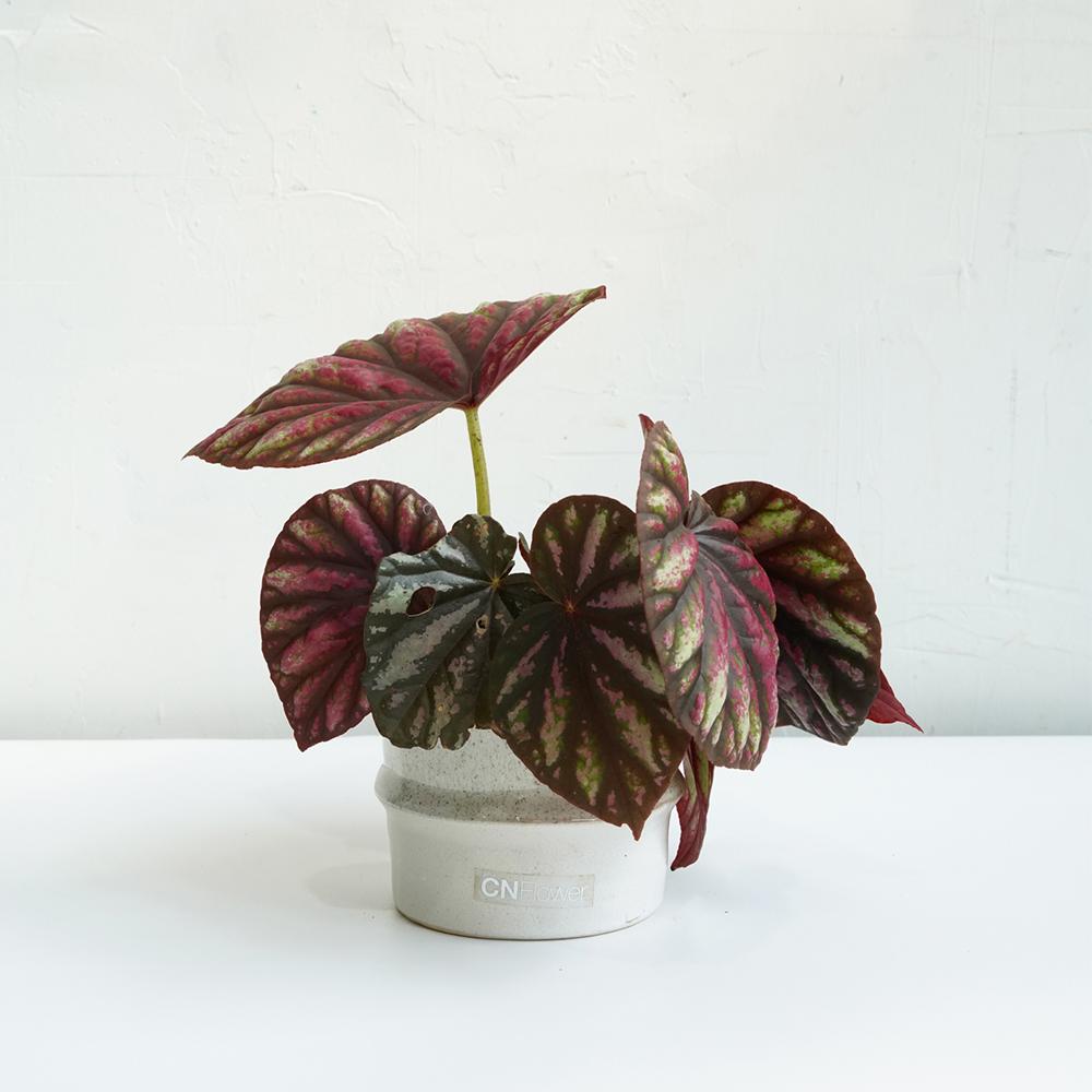 糖果海棠 不規則口徑白圓花器